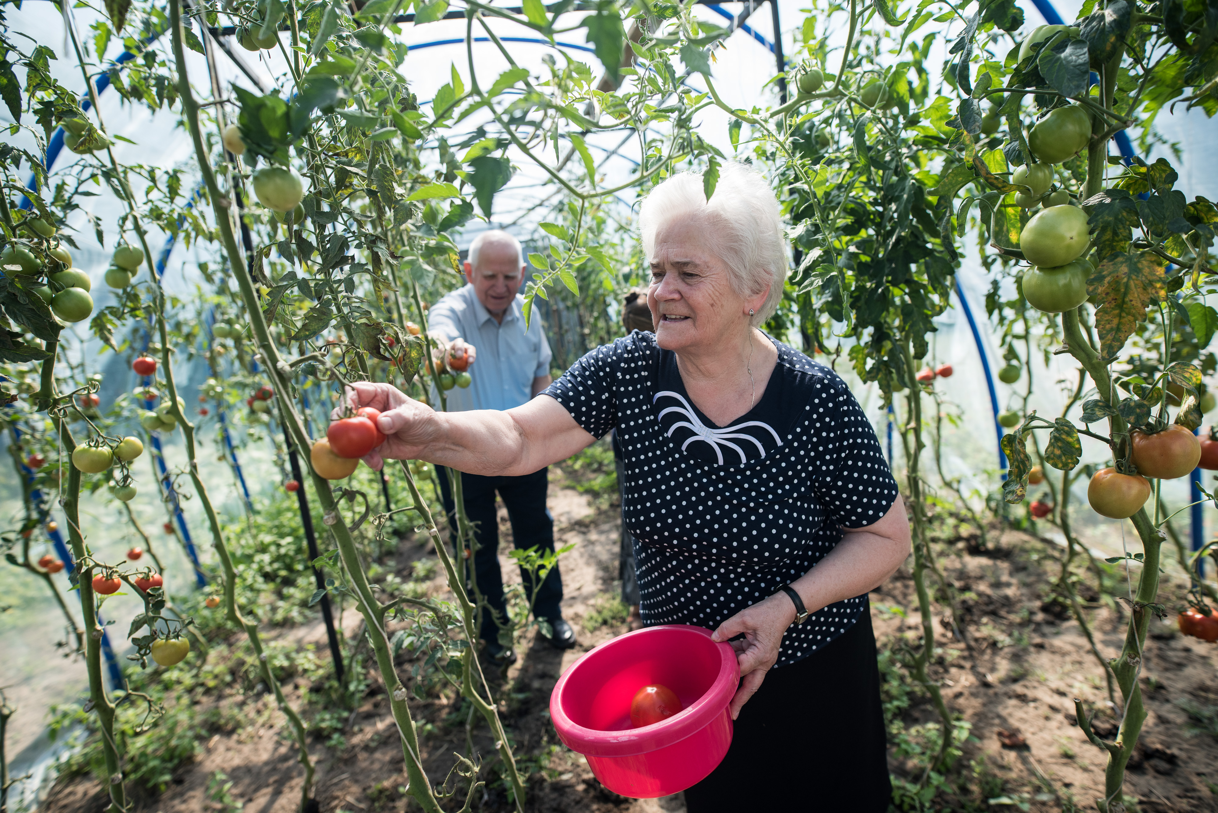 "The photo presents seniors growing tomatoes on the ""Green Care"" farm."